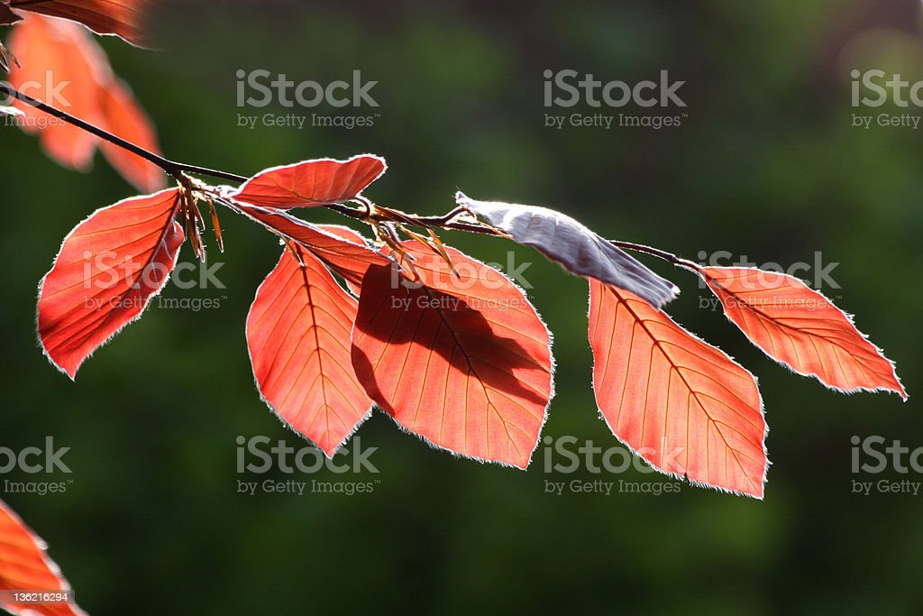 red beech royalty-free stock photo