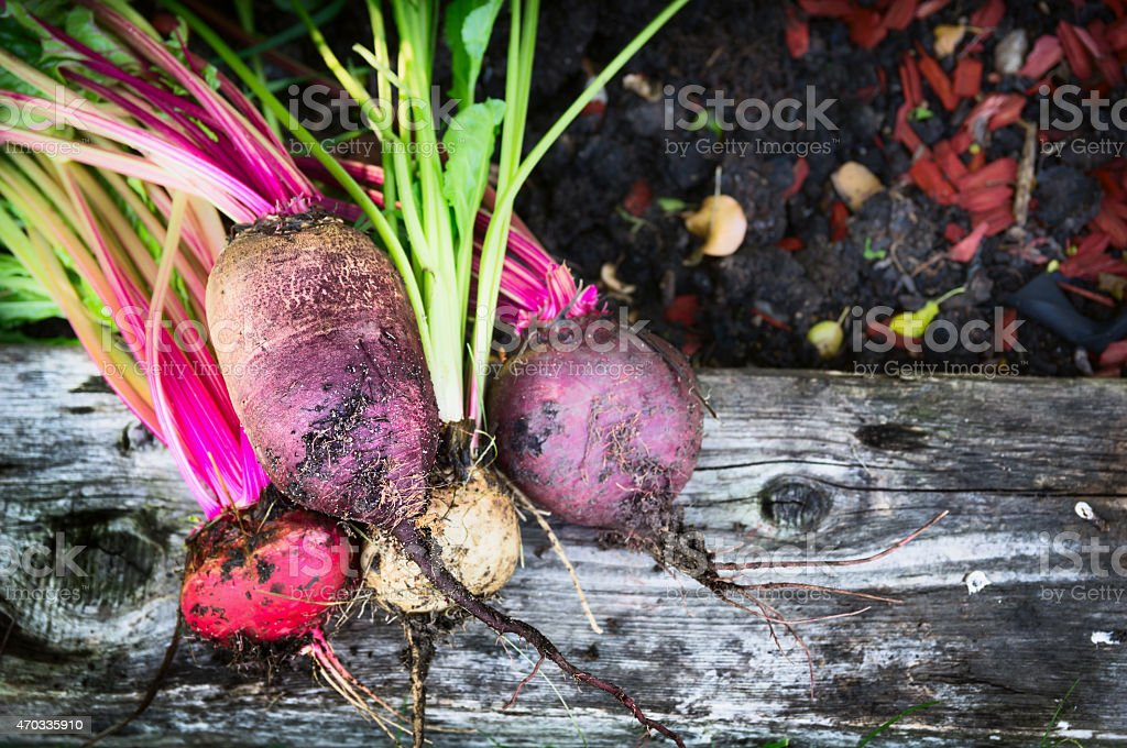 Red beet multicolor various on soil and wooden in garden stock photo