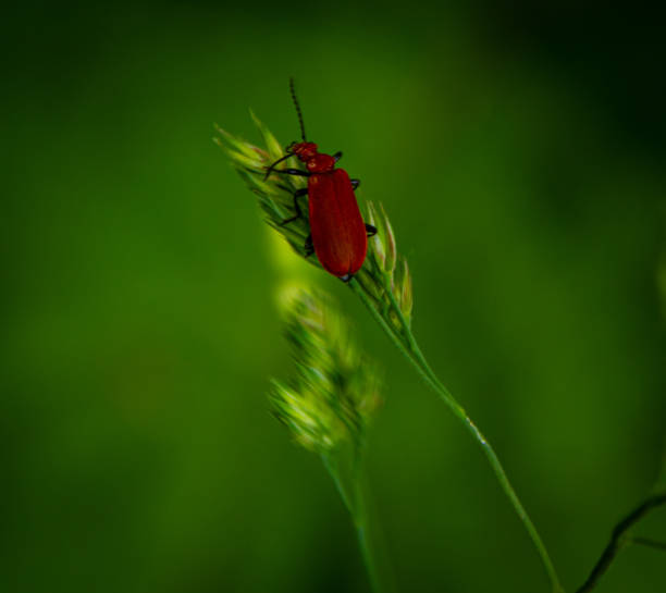 Red beetle on a straw stock photo