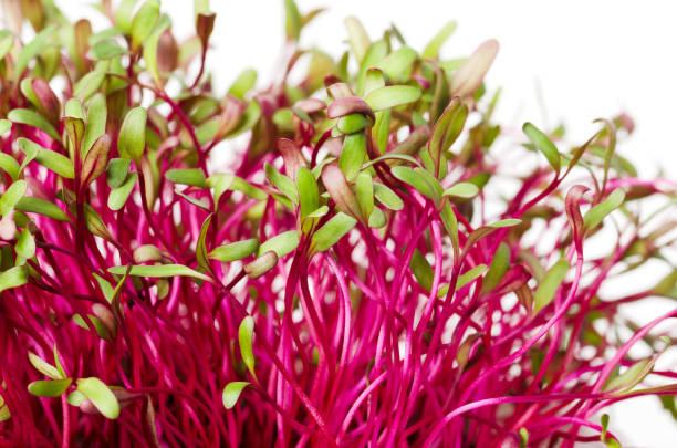 Red beetroot, fresh sprouts and young leaves Red beetroot, fresh sprouts and young leaves. An edible vegetable, herb and microgreen. Also called beet and table, garden or red beet. Cotyledons of Beta vulgaris. Macro photo closeup. microgreen stock pictures, royalty-free photos & images