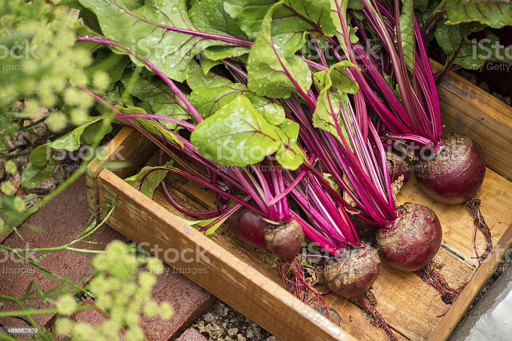 Red Beets stock photo