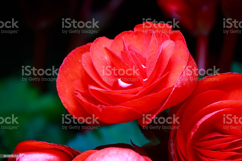 red begonia flowers stock photo