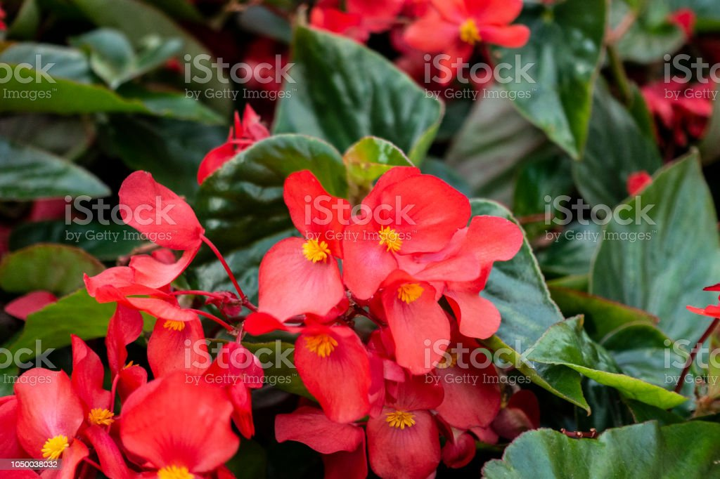 red begonia flowers with yellow center pollen in a garden with dark green leaves stock photo