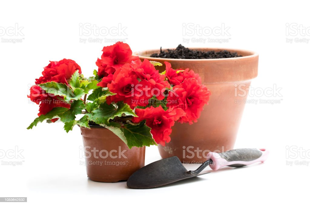 Red Begonia plant in the flowerpot isolated on white stock photo