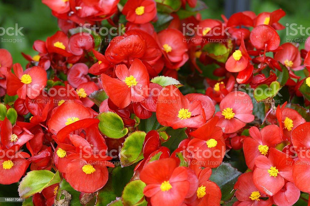 Red begonias foto