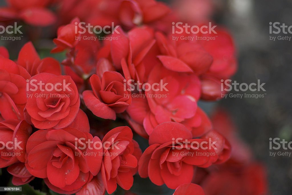 red begonias stock photo