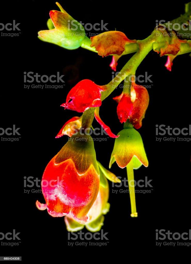 Red bell like wild flowers in Long Island in Spring foto de stock royalty-free