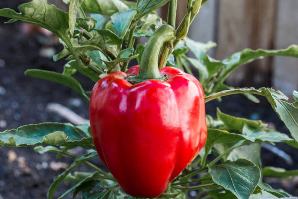 Red Bell pepper (Capsicum annuum) growing on a plant in the garden stock photo