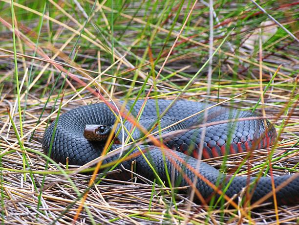 """red saucerrotia schwarze schlange auf """"reeds"""" - schwarze schlange stock-fotos und bilder"""