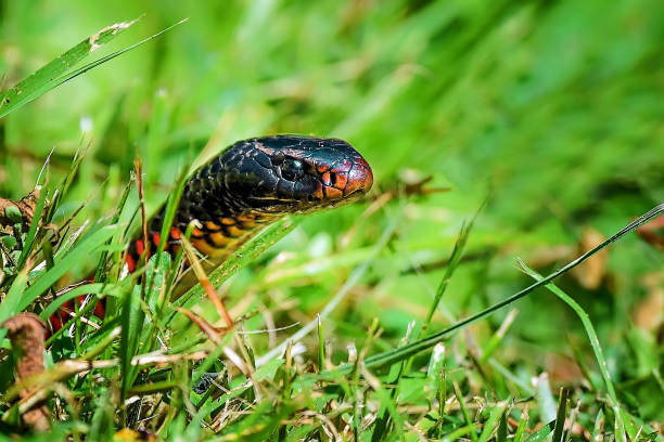 Red Bellied Black Snake stock photo