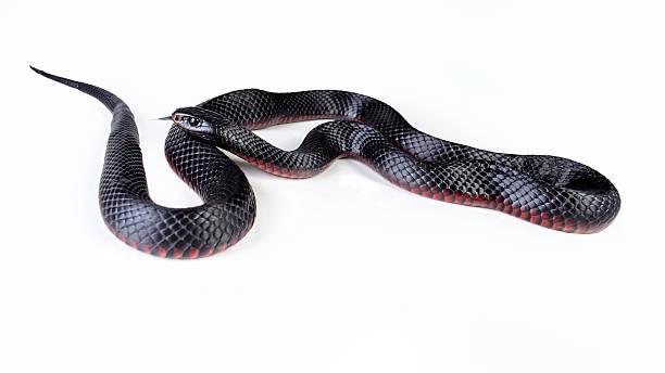 red saucerrotia schwarze schlange - schwarze schlange stock-fotos und bilder