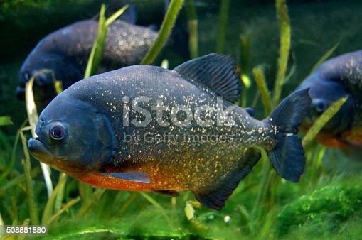 A group of Red-Bellied Piranha Pygocentrus nattereri fish swimming amongst the reeds in a large aquarium tank.