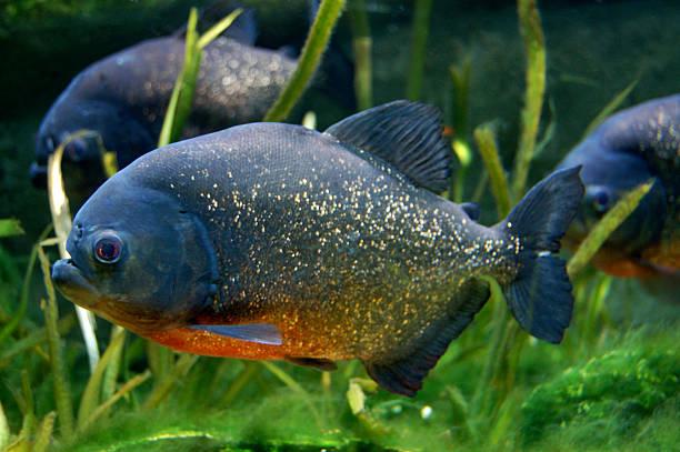 czerwony ryby w akwarium nizinnego pirania - pirania zdjęcia i obrazy z banku zdjęć