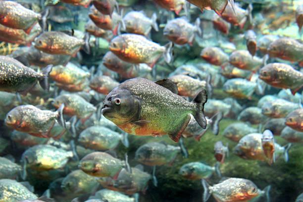 czerwony nizinnego pirania pływanie pod wodą. - pirania zdjęcia i obrazy z banku zdjęć