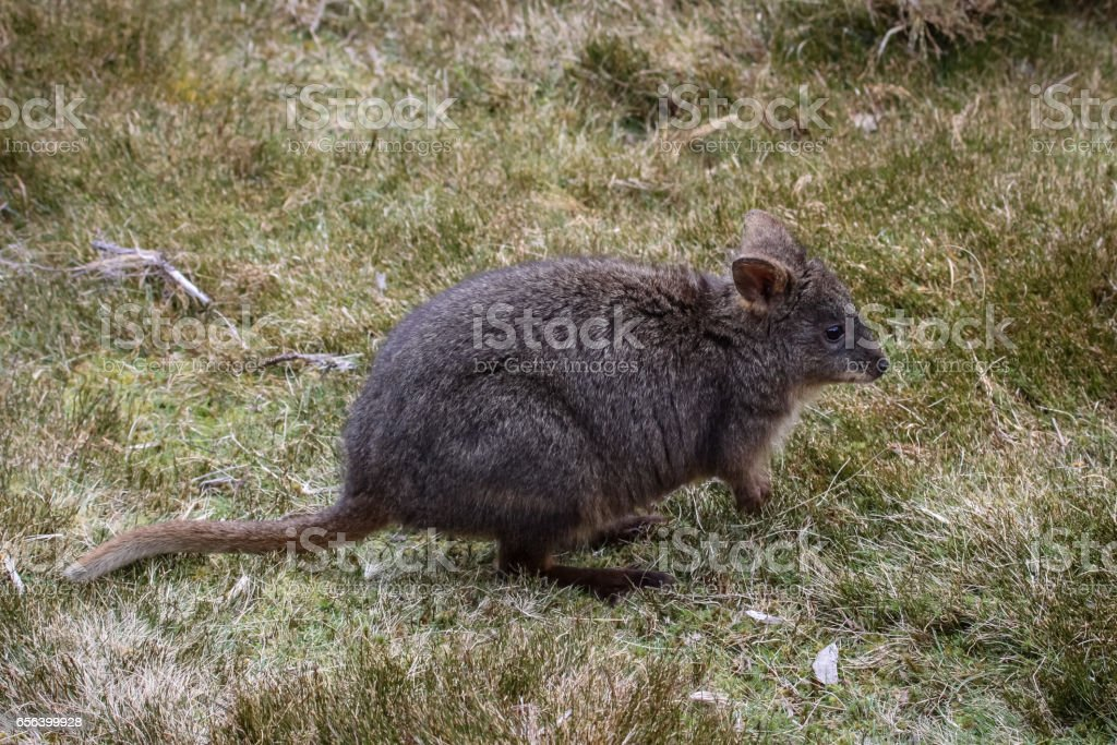 Red bellied wallaby, a small kangaroo stock photo