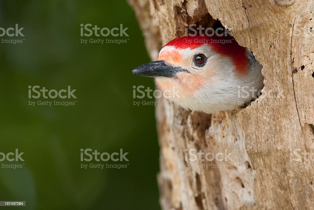Red Bellied Woodpecker in tree cavity nest royalty-free stock photo