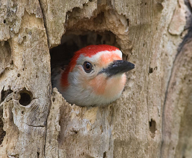 Red Bellied Woodpecker in tree cavity nest stock photo