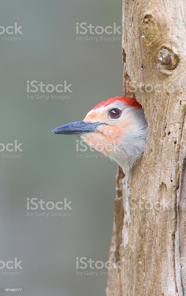 Red Bellied Woodpecker in Tree Hollow Nest royalty-free stock photo