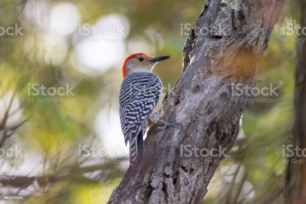 red bellied woodpecker on a branch photo libre de droits
