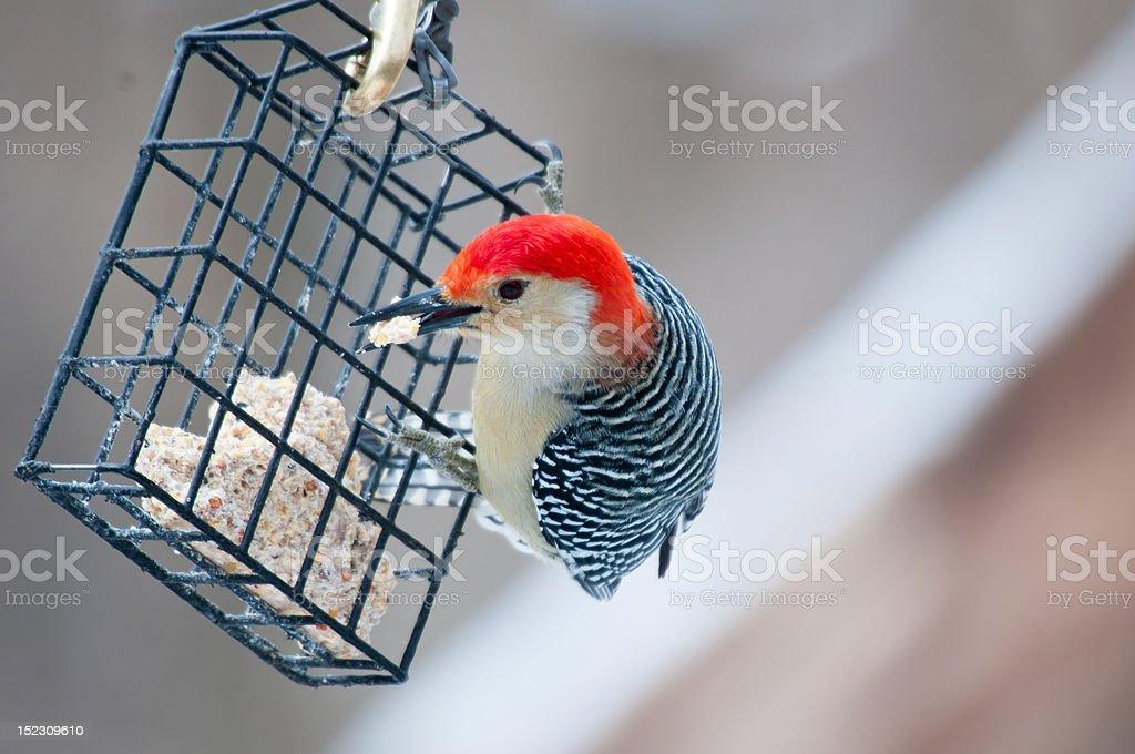 Red bellied woodpecker on winter feeder stock photo
