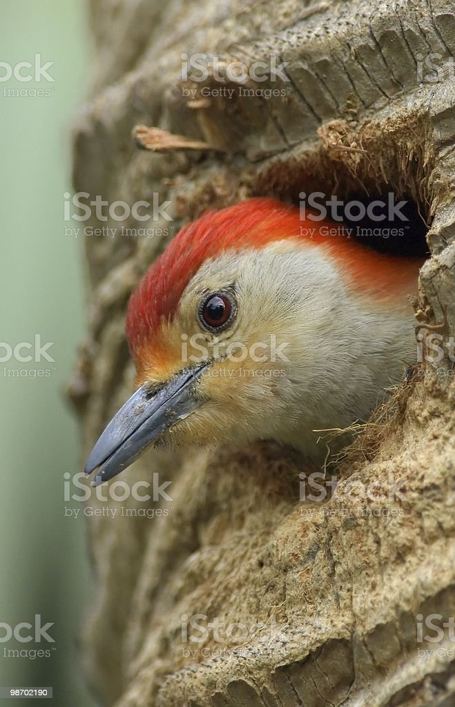 red bellied woodpecker peers out royalty-free stock photo