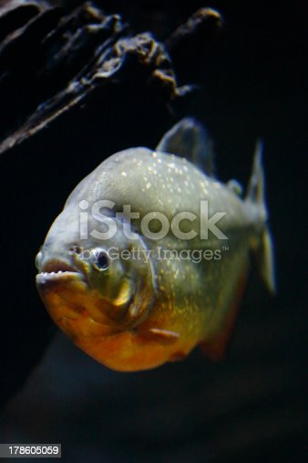 istock Red Belly Piranha 178605059
