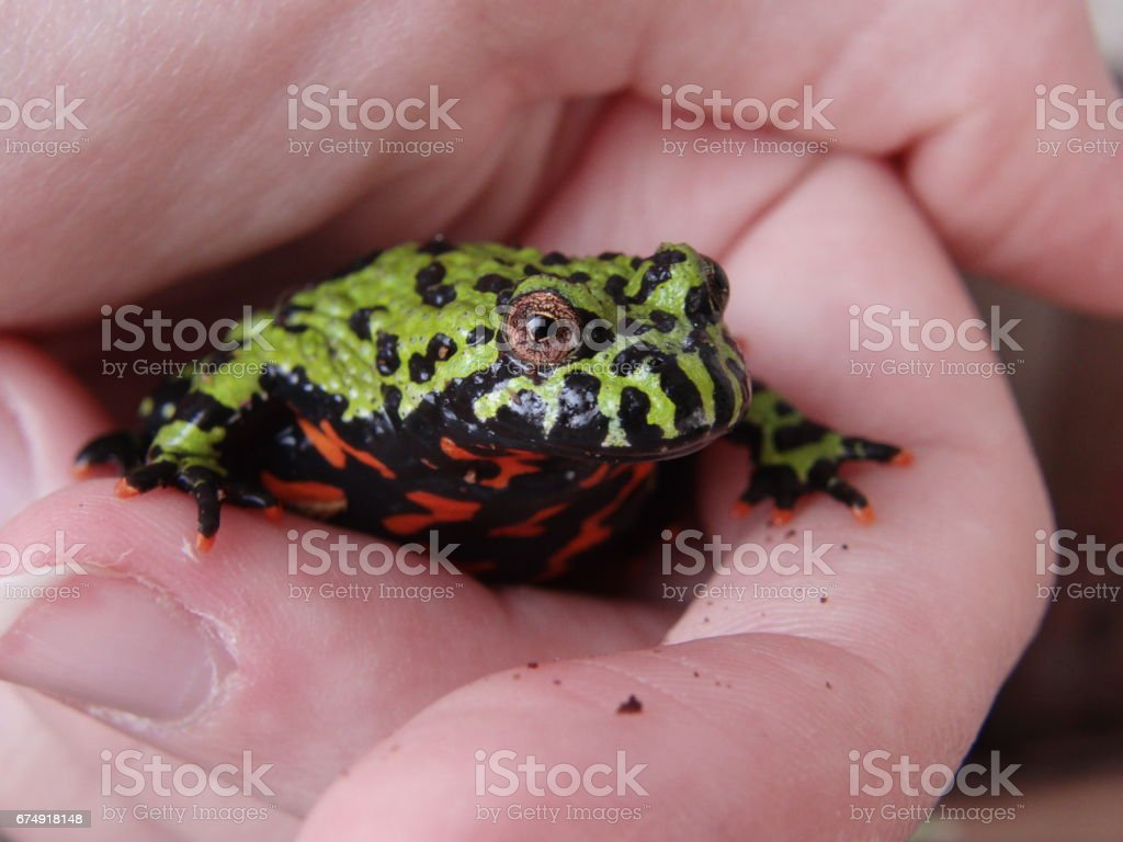 Red belly toad royalty-free stock photo