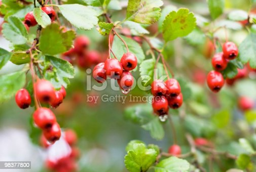 Red Beries Stock Photo & More Pictures of Beauty In Nature