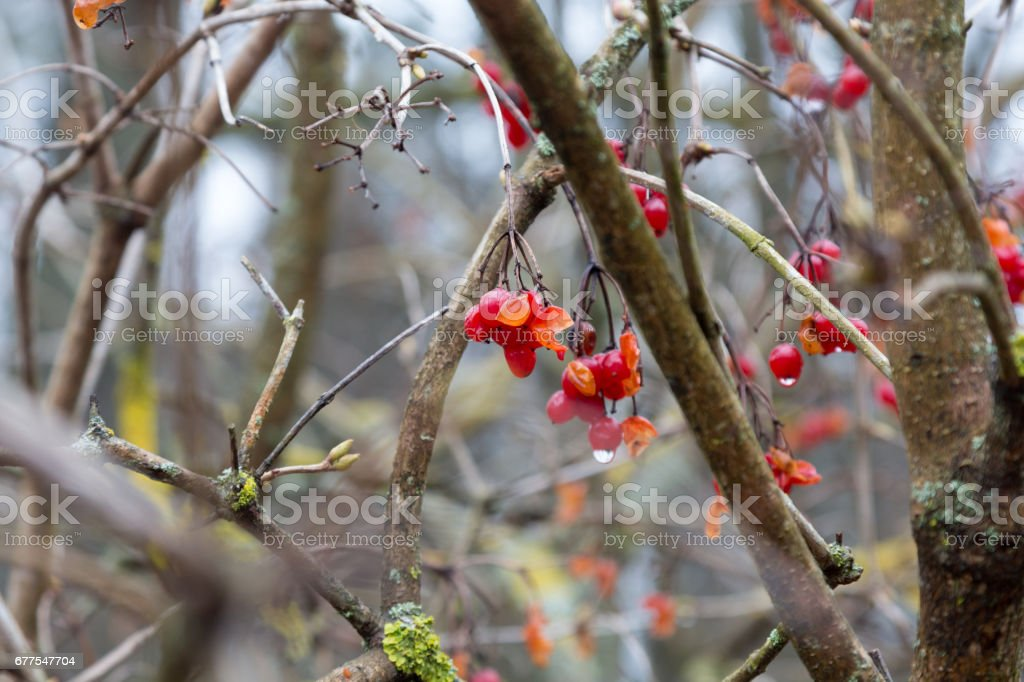 Red berries and drops in spring royalty-free stock photo
