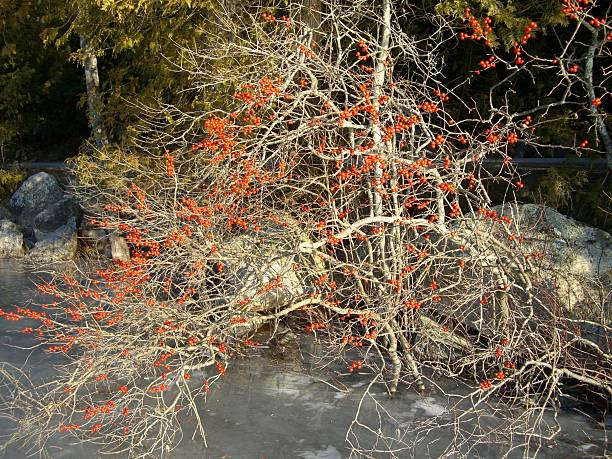 Red Berries and Limbs stock photo