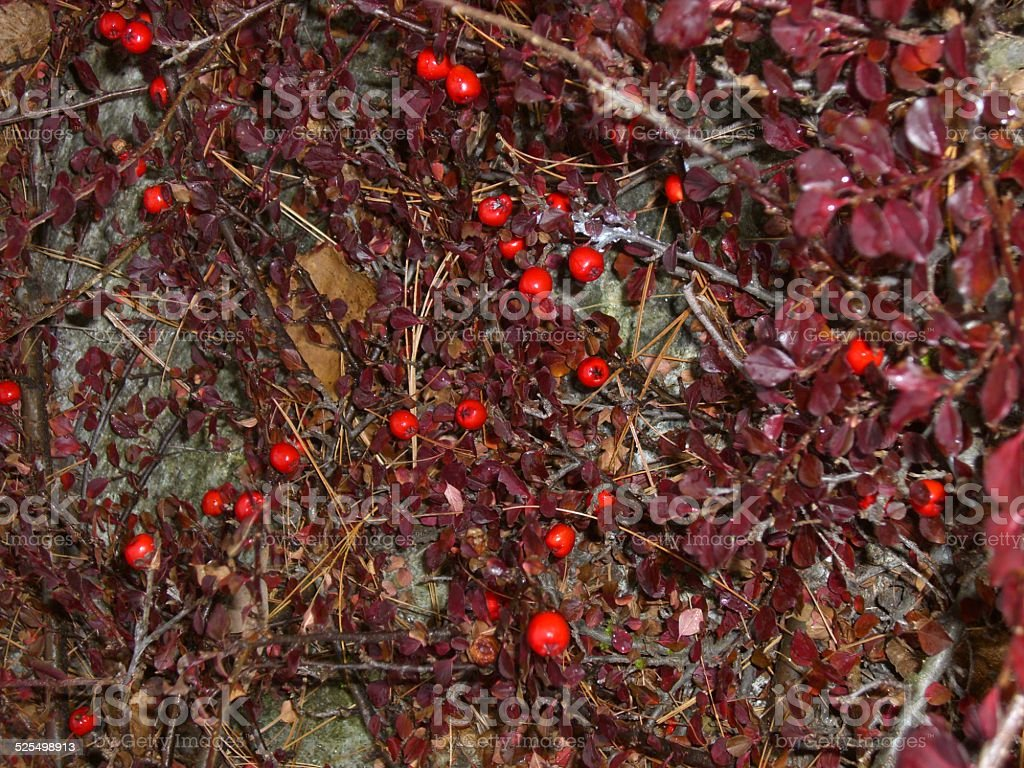 Red Berries and Purple Leaves stock photo