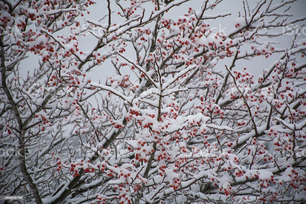 Red berries and snow stock photo