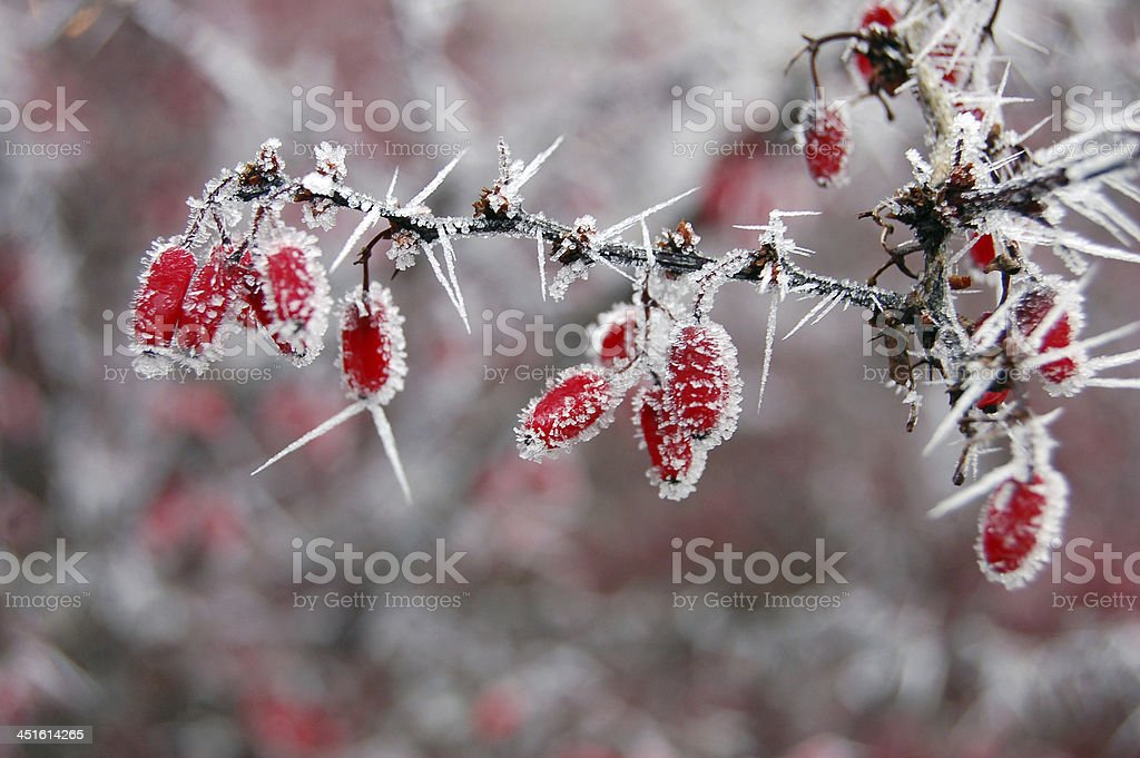 Red berries covered with frost stock photo