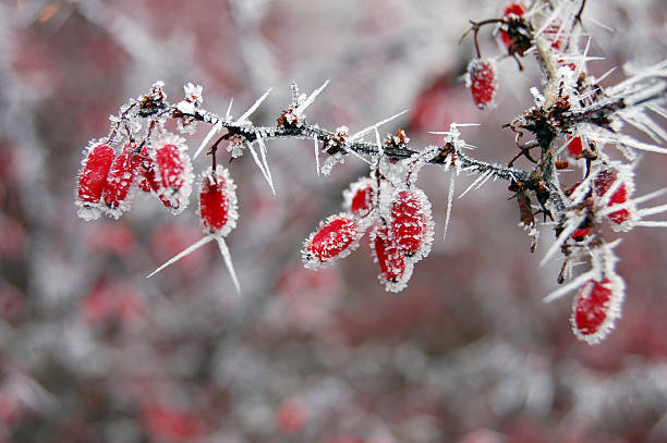 red berries covered with frost - christmas border stockfoto's en -beelden
