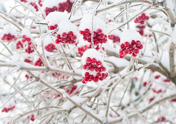 bayas rojas cubierto con nieve - arándano rojo fruta baya fotografías e imágenes de stock