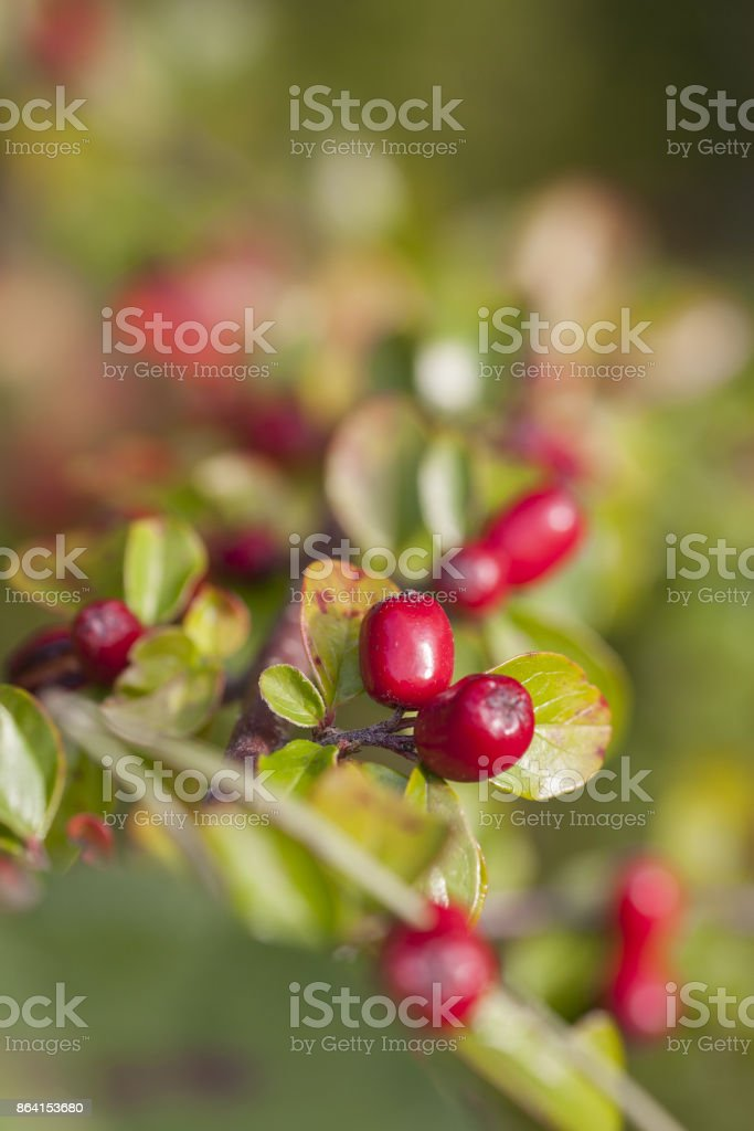 red berries , green leaves royalty-free stock photo