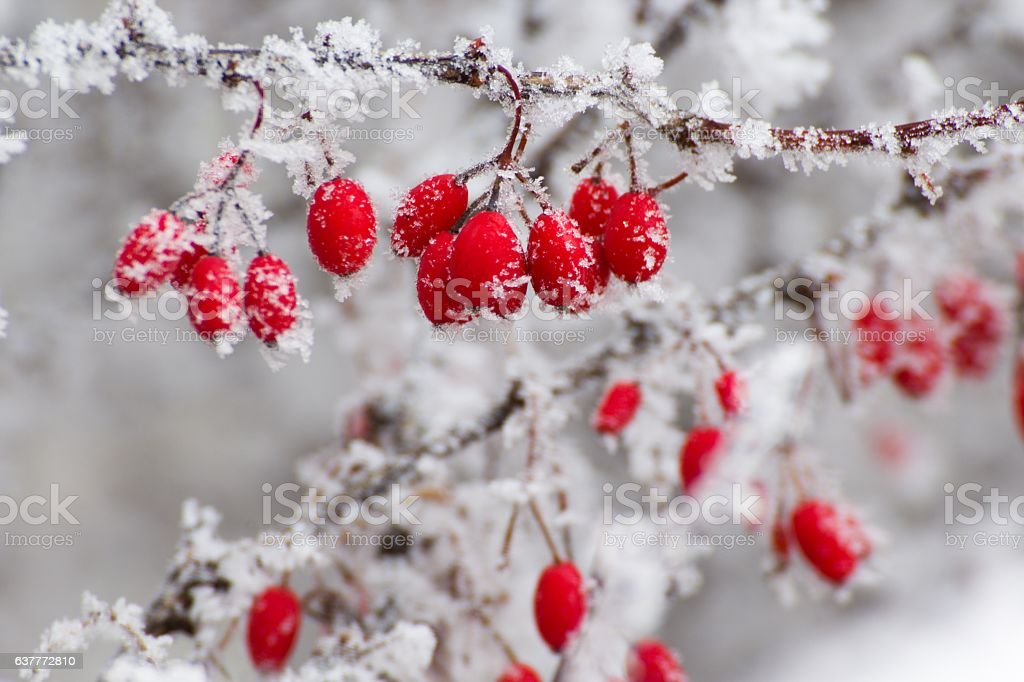 red berries in the winter stock photo