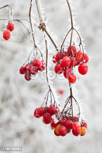 christmas: Red berries in winter