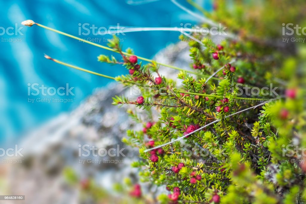 Red berries named Diddle dee royalty-free stock photo