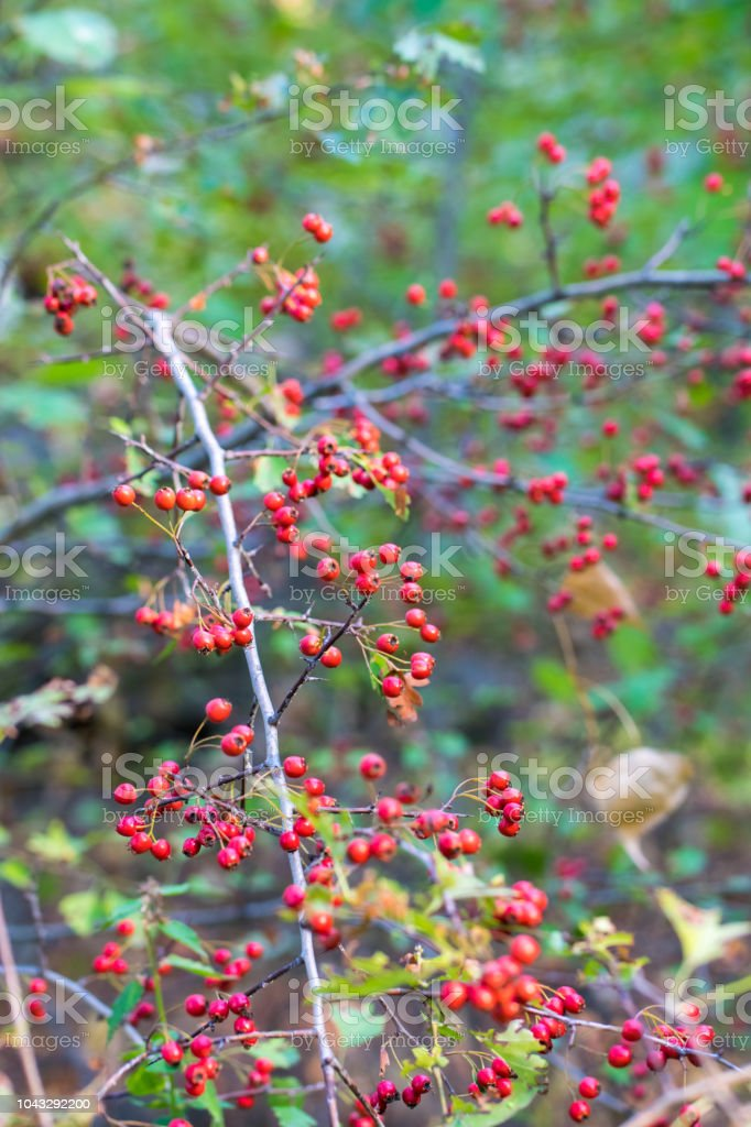 Red Berries Of A Hawthorn Tree Autumn Forest Stock Photo
