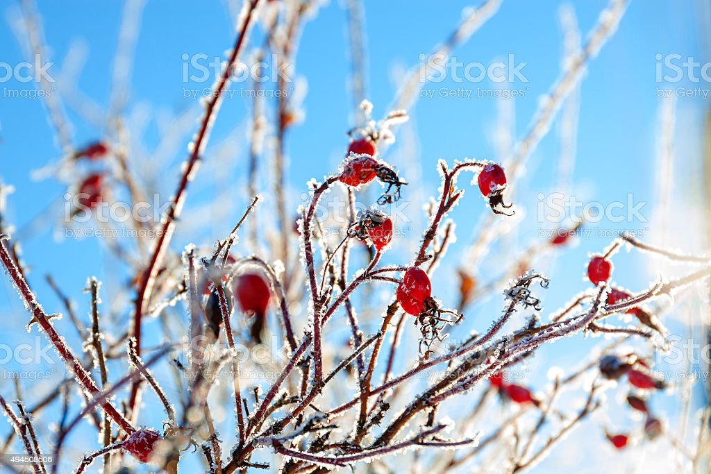 red berries of a rose-hip in the winter stock photo