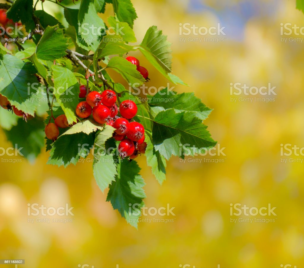 Red berries of hawthorn on yellow autumn background stock photo