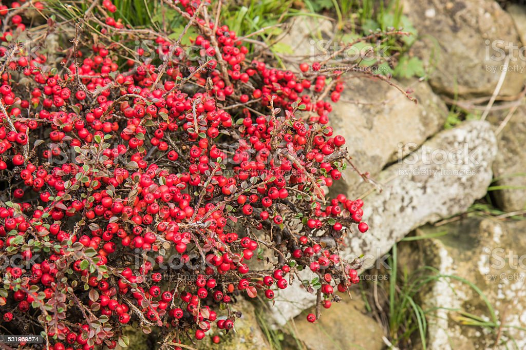 Red Berries of the Hawthorn shrub stock photo
