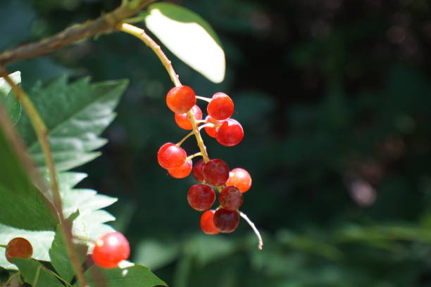 Red berries on a bush stock photo