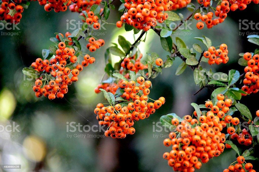 Des fruits rouges sur un buisson ardent bush - Photo