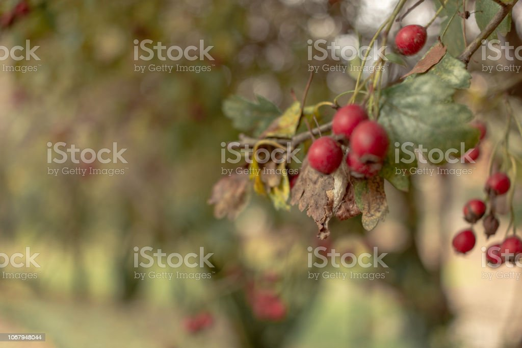 Red Berries on a Plant - foto stock