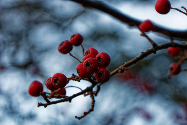 Red Berries on a tree stock photo