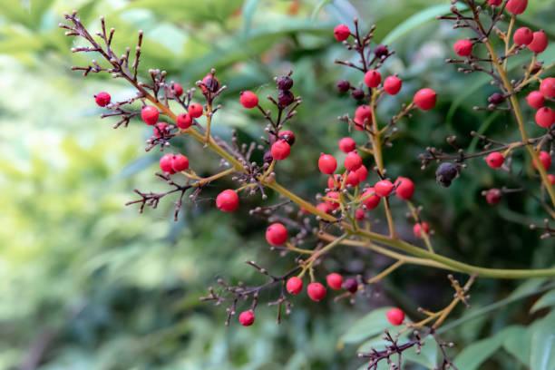 baies rouges sur la branche de l'arbre - couleur des végétaux photos et images de collection