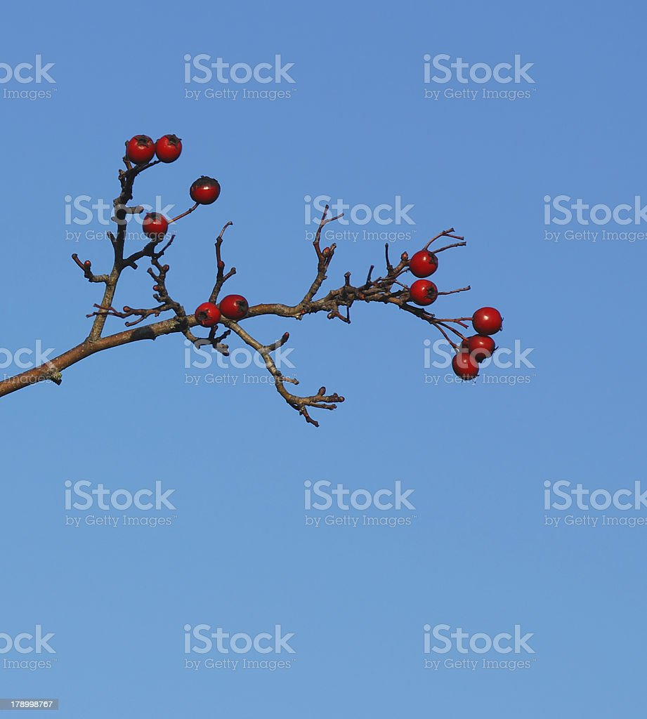 Red Berries on Christmas Eve stock photo