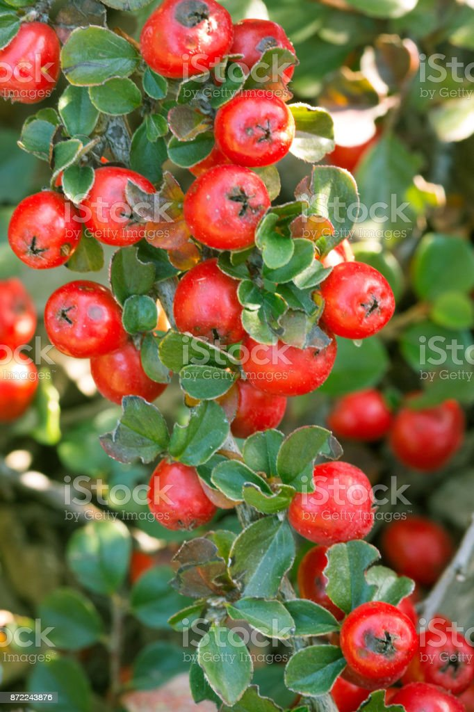 Red Berries On Green Background stock photo